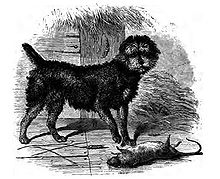 """""""A drawing of a black dog with a rounded head, standing to a dead rat."""""""