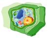 Una cellula eucariote vegetale