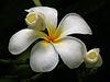 Flower I IMG 8330.jpg