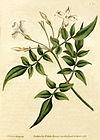 Jasminum officinale - Bot. Mag. 31, 1787.jpg
