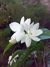 Jasminum sambac.jpg