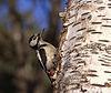 大斑啄木鸟