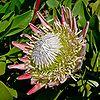 Protea cynaroides 3.jpg