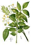Pterocarpus indicus Blanco1.205-cropped.jpg