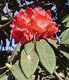 Rhododendron arboreumC .jpg