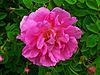 Rosa damascena 002.JPG