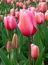 Tulip - floriade canberra.jpg