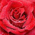 Raindrops red rose.jpg