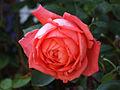Rosa45452.jpg