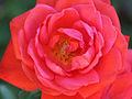 Rosa45612.jpg