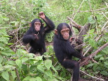 Young chimpanzees