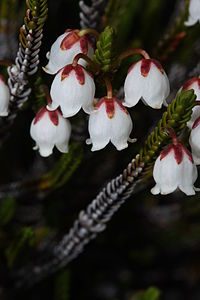 květ kasiope Mertensova (Cassiope mertensiana)