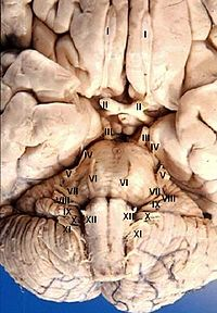 Human brain anterior-inferior view description .JPG