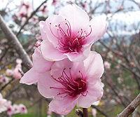 桃 Prunus persica