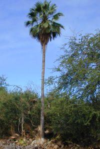 Washingtonia robusta-01.jpg