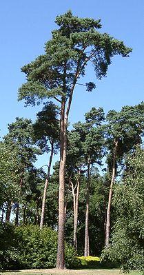 Gemeine Kiefer (Pinus sylvestris)