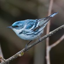 A blue and white bird perched on stick.