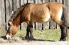 Przewalskis-horse-036437.jpg