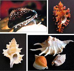 Caenogastropoda various examples 1.jpg