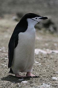Chinstrap Penguin.jpg