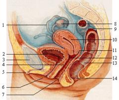 Sagitální řez ženskou pánví; děloha znázorněna číslem 10.