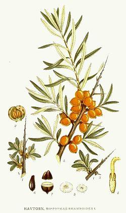 Hippophae rhamnoides L.