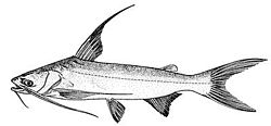 海鱨Bagre marinus