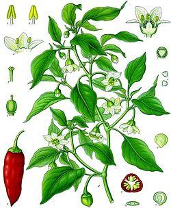 《科勒藥用植物》(1897), Capsicum annuum