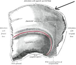 Foramenparietalis.PNG