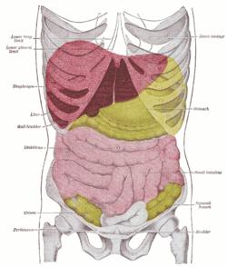 Umístění jater v lidském těle (červená barva). Gray's Anatomy, 1918