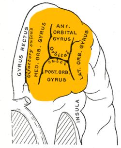 Gray729 orbital gyrus.png
