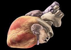 Heart oblique external.jpg