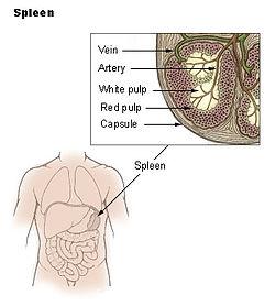 """Slezina (v obrázku označena jako """"spleen"""")"""