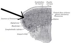 Musculustransversuslinguae.png