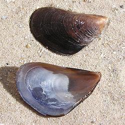 Mytilus galloprovincialis shell.jpg