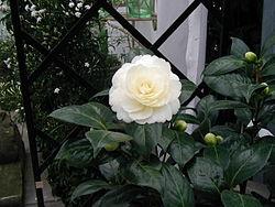 山茶花(Camellia japonica)
