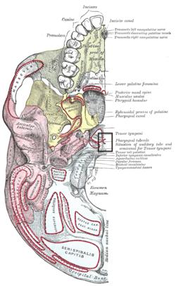 Tuberculum pharyngeum.PNG