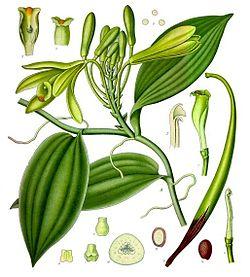 《科勒藥用植物》(1897), Vanilla planifolia