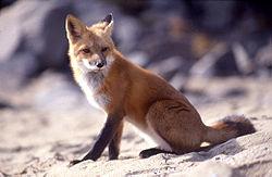 赤狐 (Vulpes vulpes)