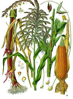 《科勒藥用植物》(1897), Zea mays