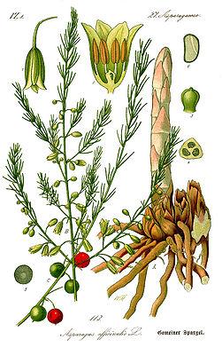 Asparagus officinalis, Illustration in Otto Wilhelm Thomé Flora von Deutschland, Österreich und der Schweiz