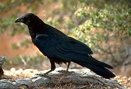 渡鸦 (Corvus corax)