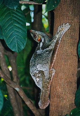 Malaien-Gleitflieger (Cynocephalus variegatus)