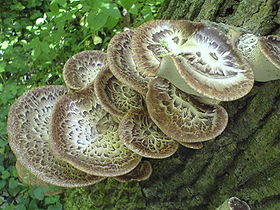 Żagiew łuskowata - kapelusz Polyporus squamosus.JPG