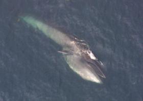 正在海面上覓食的塞鯨