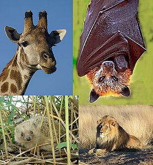 Giraffe, Goldkronen-Flughund, Braunbrustigel und Löwe gehören alle zu den Laurasiatheria
