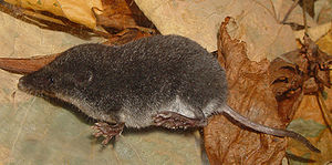 Sumpfspitzmaus (Neomys anomalus)