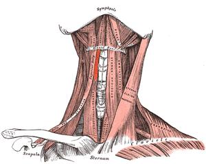 Thyrohyoideus.png
