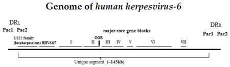 HHV-6 genome