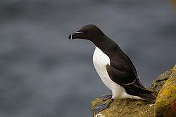 Pingouin torda (Alca torda)